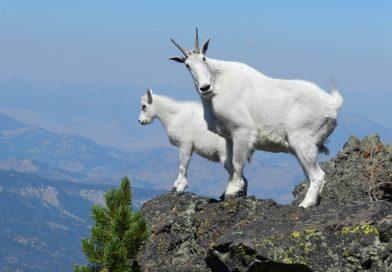 Keçiler nasıl tırmanıyor?